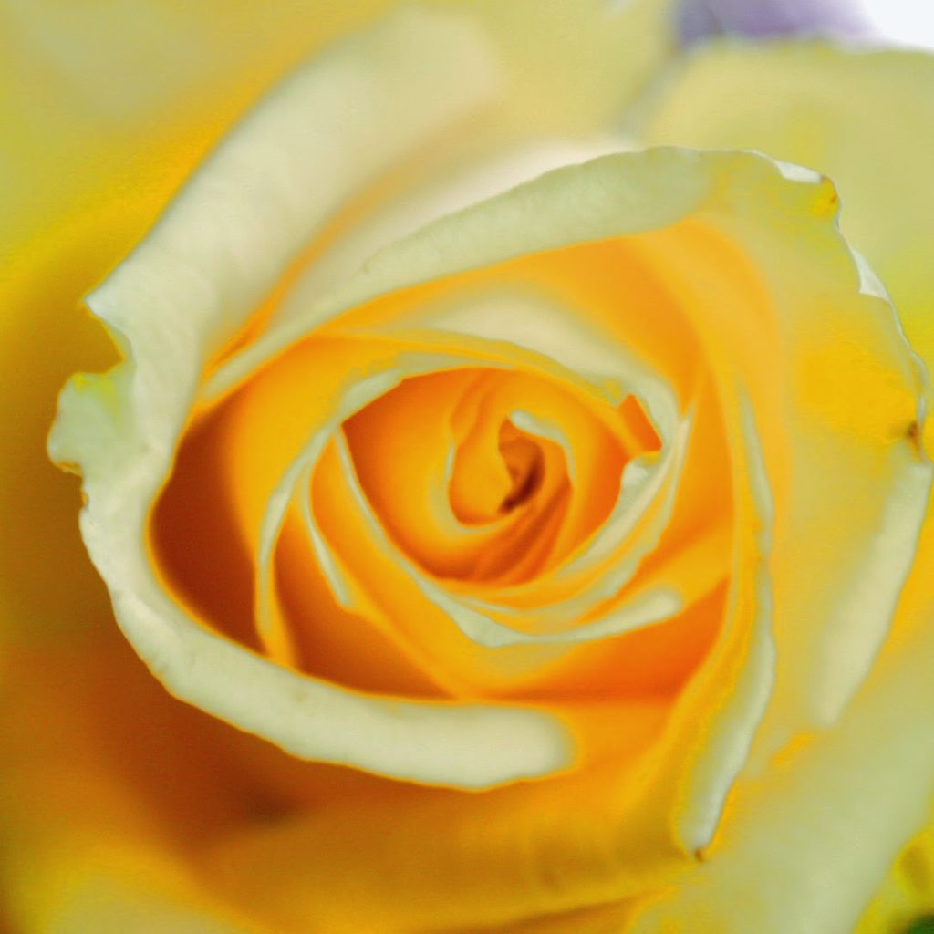 The meaning of flowers - yellow rose (friendship and caring)