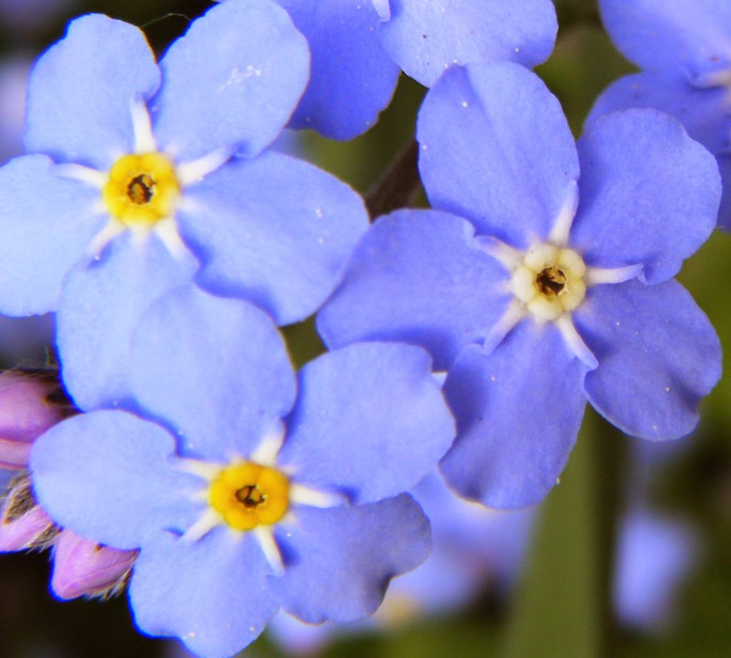 The meaning of flowers - forget-me-not (remember me)