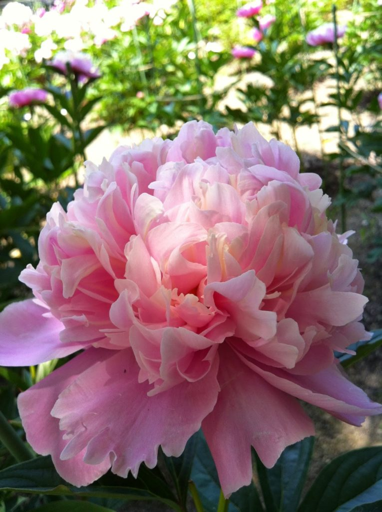 The meaning of flowers - peony (happy marriage)