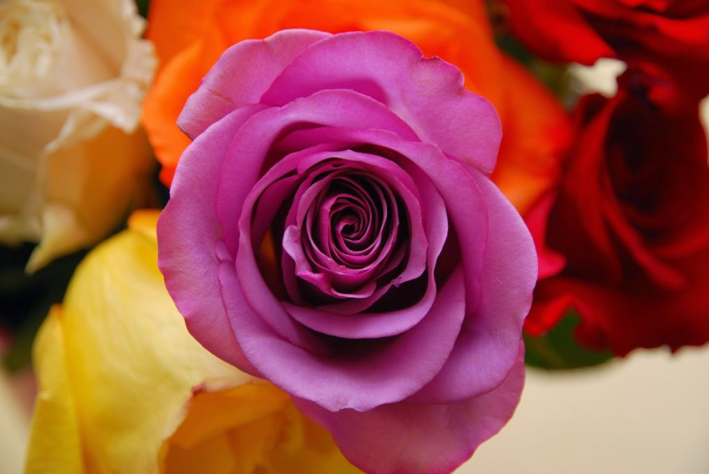 The meaning of flowers - purple rose (love at first sight)