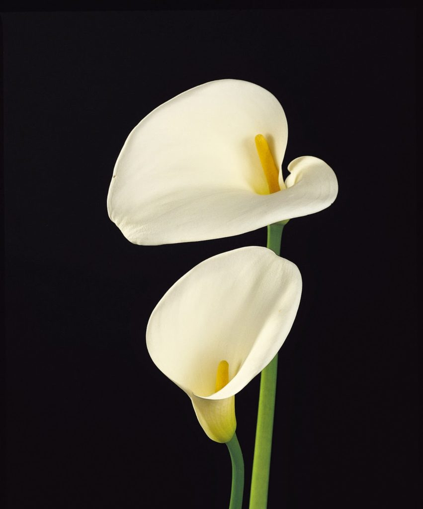 The meaning of flowers - calla lily (magnificent beauty)