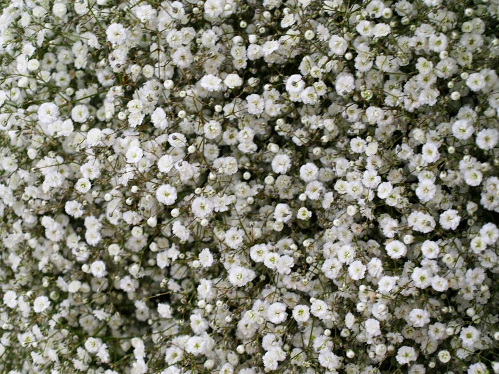 The meaning of flowers - baby's breath (everlasting love)