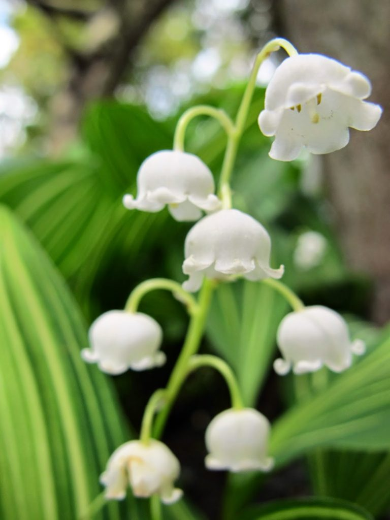 The meaning of flowers - lily-of-the-valley (happiness)