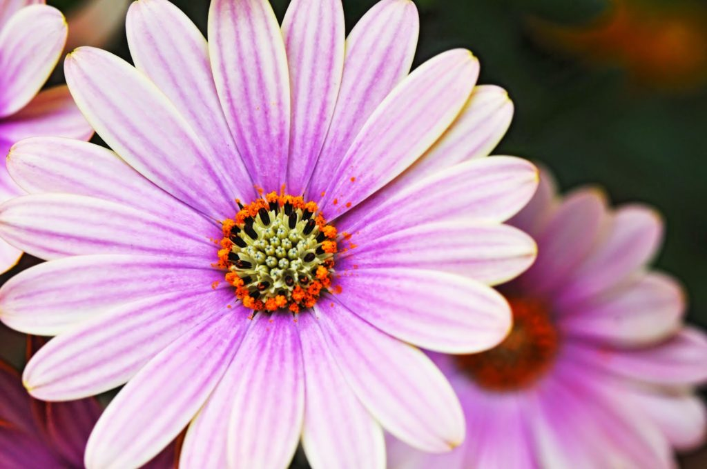 The meaning of flowers - daisy (innocence)