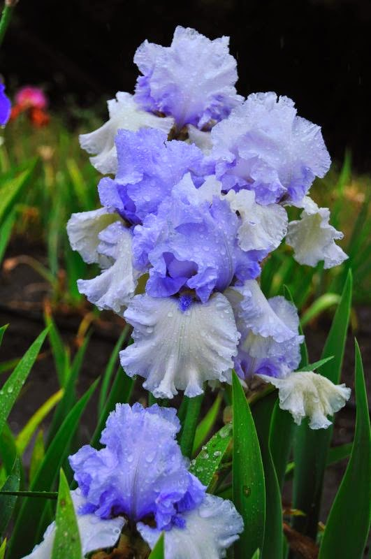 The meaning of flowers - iris (passion)