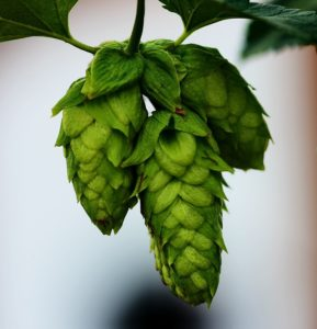 international beer day - hops